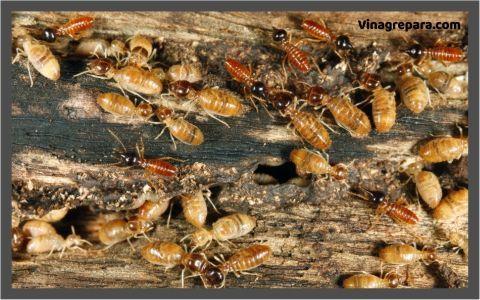vinagre blanco para termitas